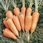 Carrot Chantenay Red - 4000 Seeds